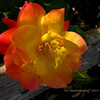 rose on a log...<br /> <br /> Have a nice week-end everyone! : )