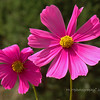"Cosmos. These came up amid some other wildflowers I planted in the spring. They can be seen in an earlier POTD here: <a href=""http://hlhull.smugmug.com/Daily-Photos/MyDailyPic/11449150_ScToo#914531156_mBxz6"">http://hlhull.smugmug.com/Daily-Photos/MyDailyPic/11449150_ScToo#914531156_mBxz6</a>. I believe that's a bee sneaking into the frame on the upper right. <br /> <br /> It's Friday!!! Have a great week-end everyone!"