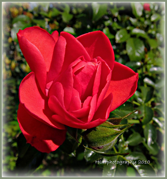 just a red rose...