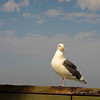11.2.10<br /> <br /> great black backed gull...