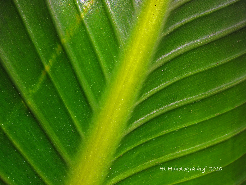Banana Tree Leaf<br /> <br /> Have a great Sunday!