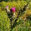 8.31.10 Thistle, in the morning light...<br /> <br /> Schbarum Regional Park, Rowland Hts, CA