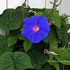 9.20.10<br /> <br /> Morning Glory