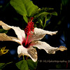 12.17.10<br /> <br /> Hibiscus in the morning light...