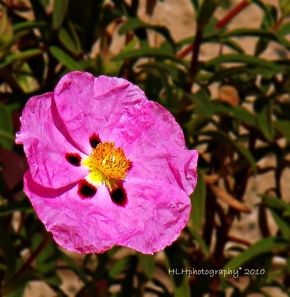 Purple Rock Rose