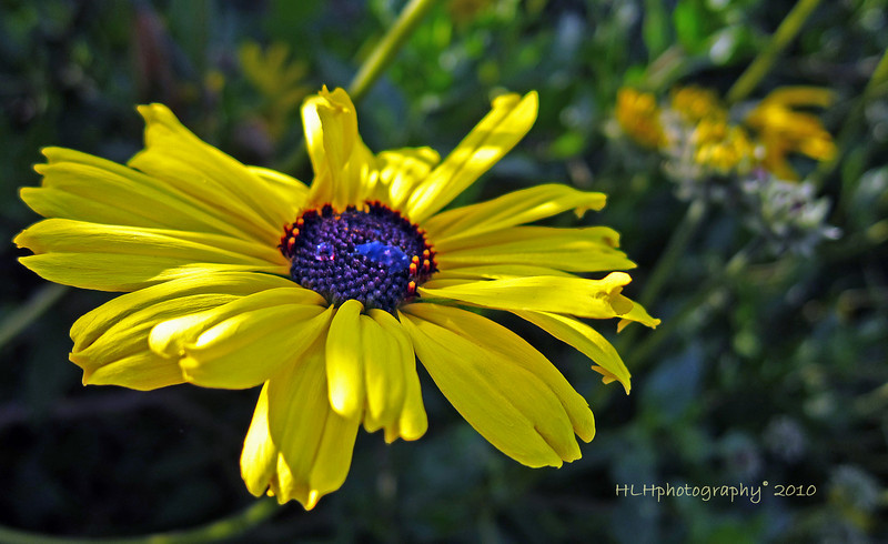 Coreopsis Wildflower