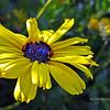 Coreopsis Wildflower