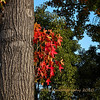 12.18.10<br /> <br /> fall color...<br /> <br /> These colorful leaves against the green trees in the background caught my eye.<br /> <br /> Forty years ago today, December 18, 1970, my wife, Carol and I were married! We had originally planned a weekend in Santa Barbara to celebrate but its been raining since yesterday so on to plan B which will include going out to breakfast, taking in an afternoon movie and then to dinner. Coincidentally, it was also raining back on December 18, 1970. I guess what I'm trying to say is that I may not get a whole lot of commenting done today! Have a great weekend everyone!