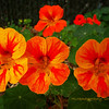 just more nasturtiums...<br /> <br /> Hope everyone has a great week-end! : )