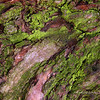 More moss on Eucalyptus Tree Bark<br /> <br /> Another shot of the moss on the same tree from the post of a couple of weeks ago. Happy Sunday!