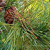 """on pine cones and needles...""<br /> <br /> Have a good week!"