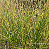 9.25.10<br /> <br /> more wild grass...What can I say, I like grass : )<br /> <br /> Schabarum Regional Park, Rowland Hts, CA
