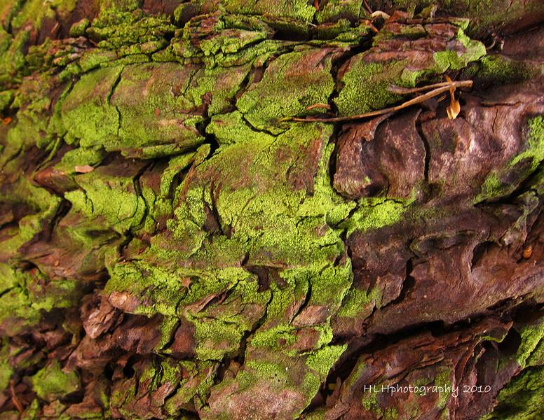Moss on Eucalyptus Tree Bark