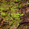 Moss on Eucalyptus Tree Bark