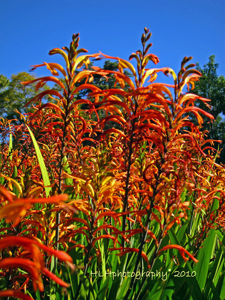 Couldn't resist taking this, these red-orange flowers against the blue sky. I should know what these are but I don't seem to recall at the moment. Anyone know? Thanks also for your recent comments, much appreciated!