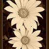 just daisies...