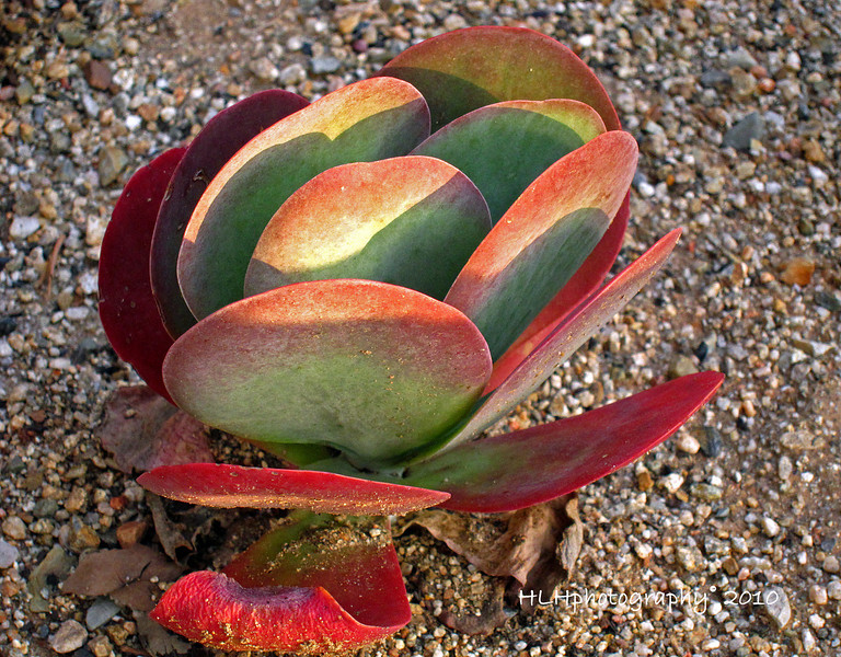 Flapjack-Paddle Plant, as seen in the small court yard at the train station in Fullerton, CA<br /> <br /> Thanks for all the kind comments this past week! Have a good week-end all!