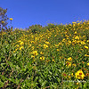 Coreopsis Wildflowers