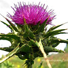 Purple Thistle   <br /> <br /> Bartlett Park, Huntington Beach, CA
