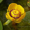 Yellow Water Lily (Nuphar advena)<br /> <br /> Santa Barbara Botanical Garden<br /> <br /> Finally finished editing our vacation photos of the Santa Barbara Botanical Garden. We spent about 4-5 hours one day just walking around enjoying the beauty that surrounded us. I will be sharing a few shots for my POTD in the next several days and then will open the remainder of the gallery. Hope you enjoy the photos! Santa Barbara Botanical Garden is a gorgeous example of our Creators' Handiwork!<br /> <br /> A little bit of Solvang to follow as soon as I get a chance to finish some editing...
