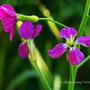 Wildflowers, Schabarum Regional Park, Rowland Hts, CA