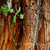 12.13.10<br /> <br /> Eucalyptus...<br /> <br /> Have a good week everybody!