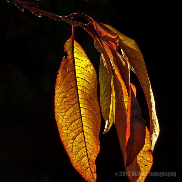 Backyard leaves...#2