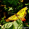 yellow butterfly...<br /> <br /> I caught this shot on a recent morning walk. Not the best, as he wouldn't hold still, but I see so few in my neighborhood, and especially in December, that I had to try : )<br /> <br /> Critiques welcome...<br /> <br /> December 14, 2012