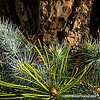 pine bark and needles...<br /> <br /> January 18, 2012