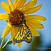 Monarch Butterfly...#4<br /> <br /> Don't mean to be over doing these butterfly shots, but when I visited Cal Poly a couple of weeks ago I was greeted by 5 or 6 of these beautiful Monarch butterflies, and just couldn't help but grab as many shots as I could...<br /> <br /> Cal Poly<br /> Pomona, CA<br /> <br /> Critiques welcome...<br /> <br /> October 13, 2012