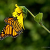 Monarch Butterfly...<br /> <br /> Cal Poly<br /> Pomona, CA<br /> <br /> Critiques welcome...<br /> <br /> October 9, 2012