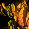 "backyard leaves...<br /> <br /> Thanks for your comments, hoping your Sunday's the best!<br /> <br /> All right then, the Lord himself will give you the sign. Look! The virgin will conceive a child! She will give birth to a son and will call him Immanuel (which means 'God is with us'). Isaiah 7:14   <a href=""http://www.biblegateway.com"">http://www.biblegateway.com</a><br /> <br /> Critiques welcome...<br /> <br /> December 16, 2012"