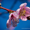 pink and blue...spring is a comin'...!<br /> nectarine tree blossoms<br /> <br /> February 18, 2012
