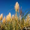 pampas grass...<br /> <br /> February 15, 2012