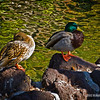 the ducks, enjoying some early afternoon sun... : )<br /> <br /> Knott's Berry Farm<br /> Buena Park, CA<br /> <br /> January 19, 2012