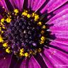purple daisy...<br /> <br /> January 10, 2012