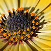 yellow daisy, up close...<br /> <br /> It's Friday  : ),  have a good weekend!<br /> <br /> January 20, 2012