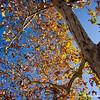 California oak...in mid-day sun...<br /> <br /> January 11, 2012