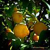 lemons...<br /> <br /> January 9,2012