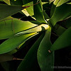 Agave cactus...<br /> <br /> The Park<br /> La Habra Heights, CA<br /> <br /> Critiques welcome...<br /> <br /> December 31, 2012