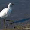 snowy egret...  Bolsa Chica Wetlands Huntington Beach, CA  January 25, 2012