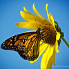 Monarch Butterfly...#2<br /> <br /> Cal Poly<br /> Pomona, CA<br /> <br /> Critiques welcome...<br /> <br /> October 11, 2012