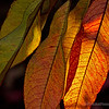 backyard leaves...#3<br /> <br /> These nectarine tree leaves actually looked on fire, as the late afternoon sun was shining through them. I hurriedly grabbed my camera and was able to capture several shots. <br /> <br /> This is the third in a mini-series that I hope you enjoy...<br /> <br /> Critiques welcome...<br /> <br /> December 18, 2012
