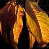 backyard leaves...#5<br /> <br /> These nectarine tree leaves actually looked on fire, as the late afternoon sun was shining through them. I hurriedly grabbed my camera and was able to capture several shots. <br /> <br /> This is the fifth and final image in this mini-series, hope you enjoyed...thanks again for looking and commenting!<br /> <br /> Critiques welcome...<br /> <br /> December 20, 2012