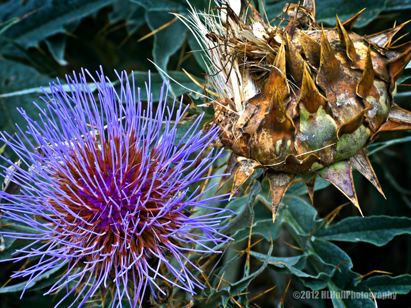 Thistle, new and old...<br /> <br /> Schabarum Regional Park<br /> Rowland Heights, CA<br /> <br /> July 23, 2012