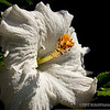 "white hibiscus...<br /> <br /> I want to thank everyone for taking time to look at and comment on my shots this last week, very much appreciated! Aside from looking at all the great work on SmugMug, they're what keep me inspired!  : )<br /> <br /> Have great Sunday!<br /> <br /> ""Love is patient and kind. Love is not jealous or boastful or proud or rude. It does not demand its own way. It is not irritable, and it keeps no record of being wronged."" 1 Corinthians 13:4-5 NLT<br /> <br /> February 12, 2012"