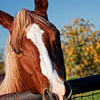 "November 26, 2010 - ""My Best Buddy""<br /> <br /> Tuesday morning I was photographing three horses in beautiful early morning light.  This horse literally kept putting his friendly face in my camera lens and I had to move back from the fence. <br /> <br /> Best enjoyed in an enlarged version."