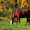 "November 28, 2010 - ""Early Morning Snack""<br /> <br /> This is one of the horses that was not interested in visiting me at the fence.The very friendly horse was posted on Friday."