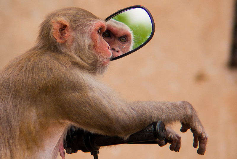 Warning: objects in mirror are closer than they appear<br /> <br /> Monkey at Jaipur's Monkey Temple