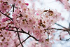 The infamous Japanese cherry blossoms are finally here! Okinawa, Japans south, had theirs over two months ago. Hokkaido is the last on the list.
